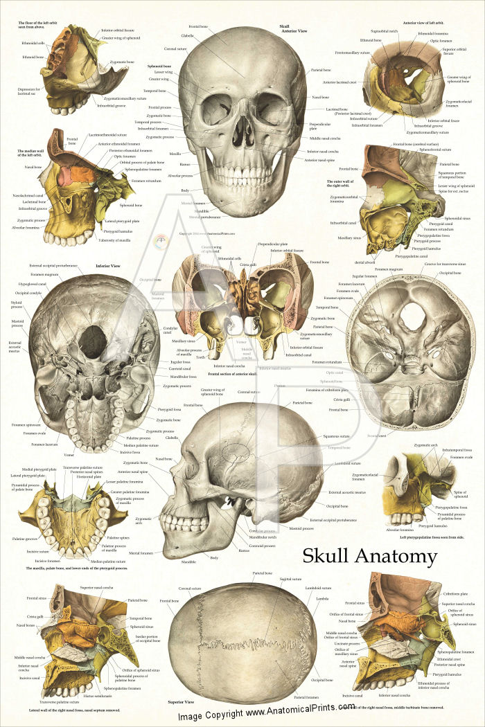 Bones of the Human Skull Anatomy Poster