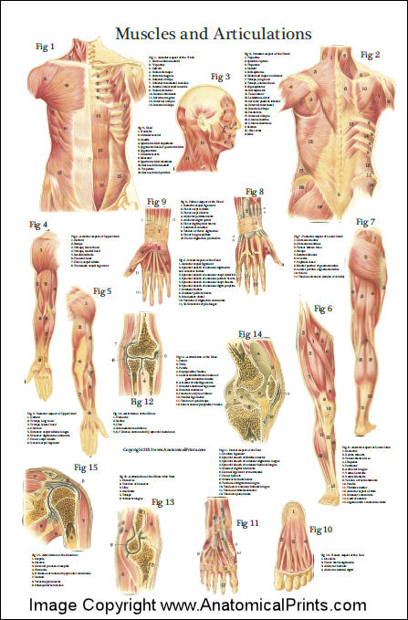 Muscle Anatomy Poster