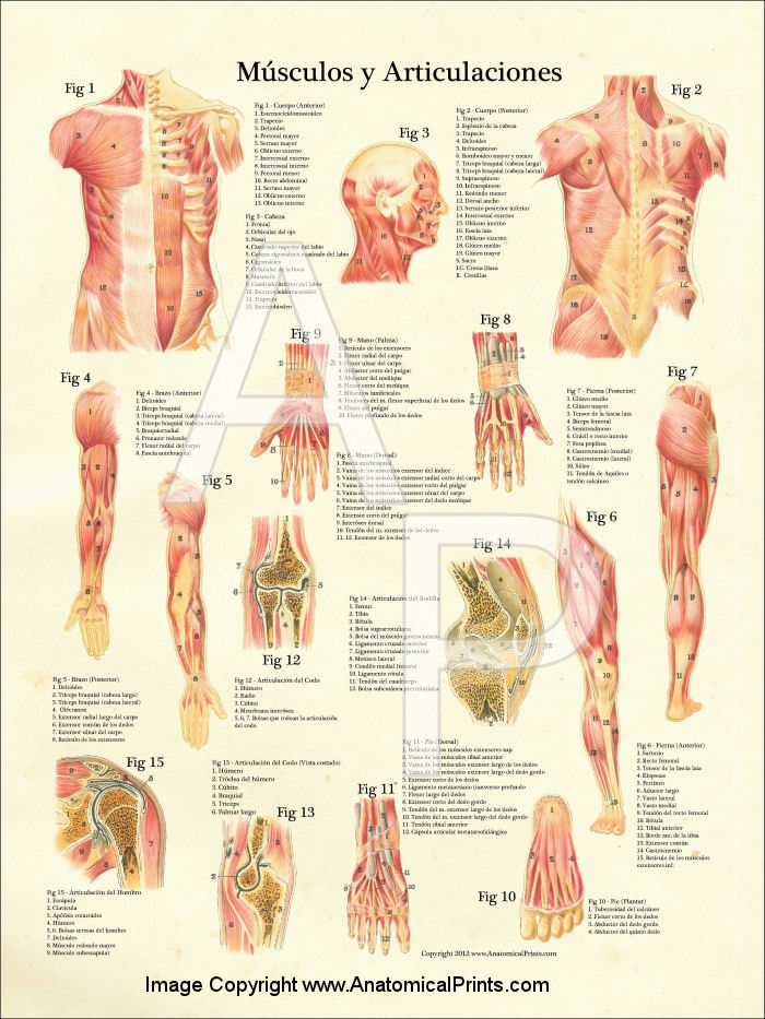 Muscles and Articulations Poster
